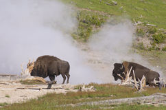 Two Bisons near a spewing geyser. Stock Photos