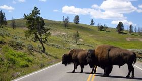 Two bisons on the route,Yellowstone national park Royalty Free Stock Image