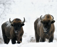 Two bisons Royalty Free Stock Photography