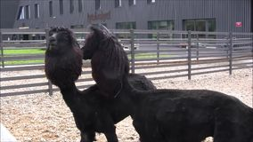 Two black alpaca lamas in the zoo. Two black alpaca lamas nicely cut  in Tallinn zoo stock video footage