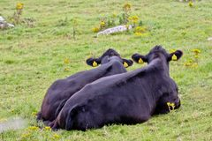Two Black Angus Cows Stock Images