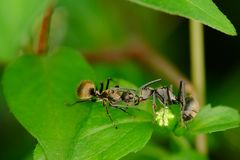 Two black ants on the foliage Royalty Free Stock Images