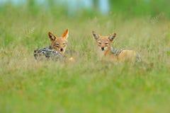 Two Black-Backed Jackal, Canis mesomelas mesomelas, portrait of animal with long ears, Kenya, South Africa. Beautiful wildlife sce. Black-Backed Jackal, Canis royalty free stock photo