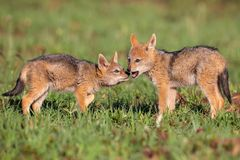 Two Black Backed Jackal puppies play in short green grass to develop skills. Two Black Backed Jackal puppies play in short green grass to develop their skills royalty free stock photos