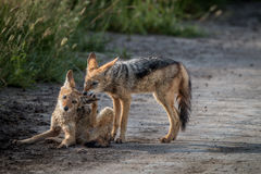 Two Black-backed jackals bonding. Two Black-backed jackals bonding in the Central Kalahari, Botswana Royalty Free Stock Photo