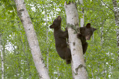 Two Black Bear Cubs Climbing a Tree Stock Photography