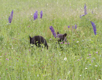 Two Black Bear Cubs Playing in Wildflowers Royalty Free Stock Photography