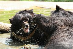 Two Black  bears Royalty Free Stock Photos