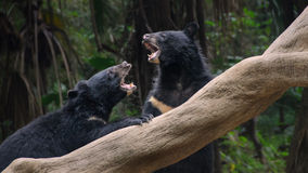 Two black bears fighting Royalty Free Stock Images
