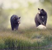 Two Black bears near water. Two Black bears in the grass near water Royalty Free Stock Image