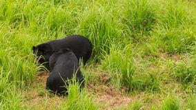 Two black bears walk play on green grass in tourist park stock video