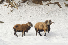 Two black belly sheep in snow. Royalty Free Stock Image