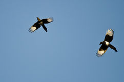 Two Black-billed Magpies Flying in a Blue Sky Stock Photography