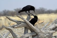 Two black birds playing Stock Image