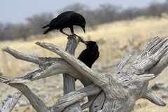 Two black birds playing Royalty Free Stock Photography