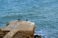 Two black birds relaxing on rock in the sea royalty free stock images