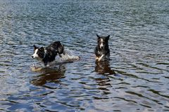 Two Border Collie dogs bathe in the lake. Stock Image