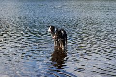 Two Border Collie dogs bathe in the lake. Stock Images