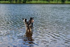Two Border Collie dogs bathe in the lake. Stock Photo