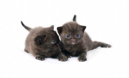 Two black british kittens Stock Image