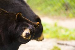 Two Black or Brow Bears Royalty Free Stock Photography