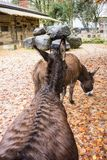 Two black and brown donkey in autumn. Fall season Royalty Free Stock Images
