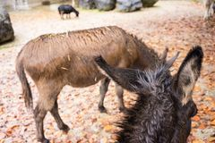 Two black and brown donkey in autumn stock photo