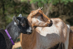 Two Black and Brown Goat Profiles Stock Photos