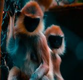 Two Black-and-brown Monkeys Photo Stock Photography
