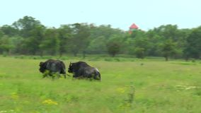 Two black bull chase each other stock footage