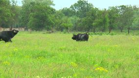 Two black bull in the wilderness near the farm. Slow motion. Video in a slowed double the stock video