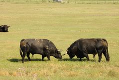 Two black bulls fighting Royalty Free Stock Image