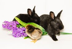 Two black bunny, chick and flowers Stock Photography