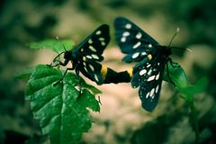 Two black butterflys sitting on herbs. Royalty Free Stock Photos