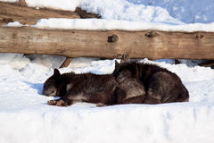 Two black canadian wolves sleep in the spring sun. Stock Images