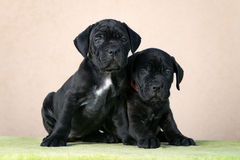 Two black cane corso puppies Stock Photography