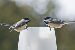 Two Black-capped Chickadees (Poecile atricapillus) talking. Two black-capped chickadees talking on a ice feeder on a winters day Royalty Free Stock Photography