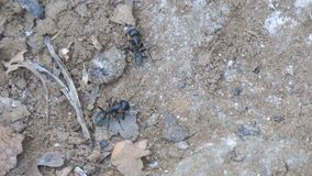 Two black Carpenter ant crawling on the sand stock video footage