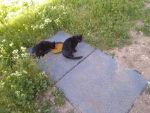 Two black cat eating in shade 2. Two black cat eating in shade with golden back ground and grass around royalty free stock image