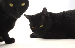 Two black cats. Isolated on the white background, focus on the laying one stock photo