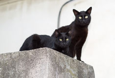 Two black cats. Two beautiful black cats on a rest stock image