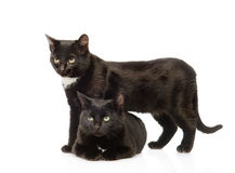 Two black cats. isolated on white background Royalty Free Stock Photo