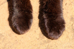 Two Black Cats Paws. Close up image of two black cats paws contrasted against the stone texture of s patio royalty free stock images