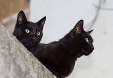 Two black cats. Two beautiful black cats on a rest royalty free stock photography