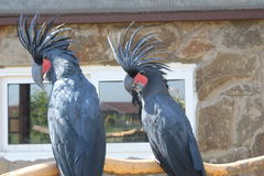 Two black cockatoo in a zoo. Two black beautiful cockatoo parrot on a branch at the zoo exotic fauna nature cage royalty free stock images