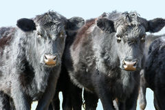 Two Black Cows. Staring in curiousity at the photographer Royalty Free Stock Photos