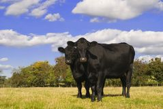 Two black cows in field. Facing camera Royalty Free Stock Photo
