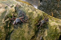 Crabs on mossy rock surface Royalty Free Stock Photography