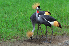 Two black crowned cranes Royalty Free Stock Photo