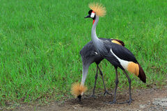 Two black crowned cranes Royalty Free Stock Photos